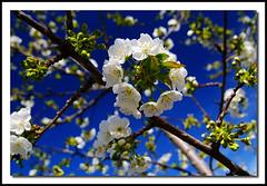 Cerezos de Jerte photo by Fran Barrero (venus-photo)