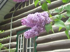 lilacs 5.14.06