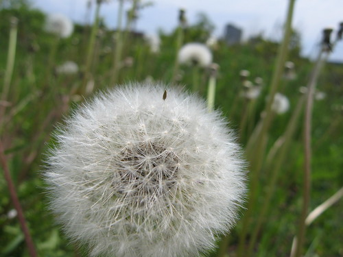 Dandelion world