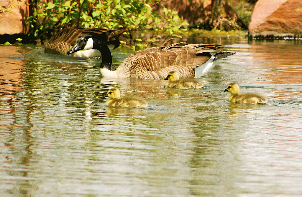 BABY GEESE LEARN TO SWIM