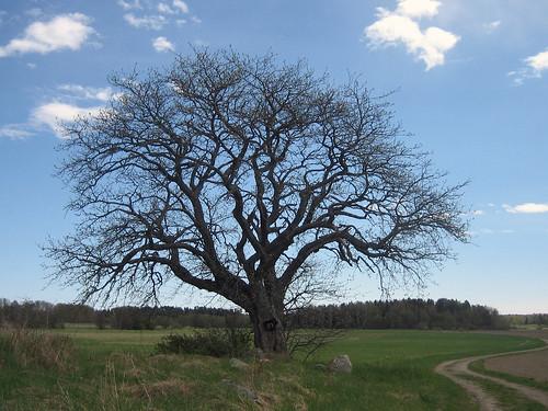 That Old Tree (Midweek)