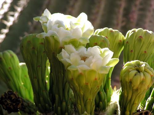 Saguaro Bloom I