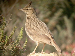 Crested Lark, Castro Marim (Portugal), 1-May-06