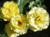 20060606 Roses Yellow
