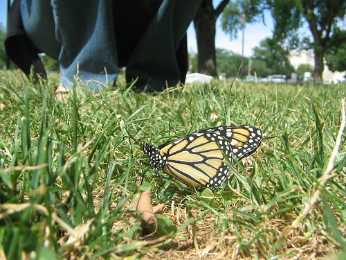 Monarch on the Mall