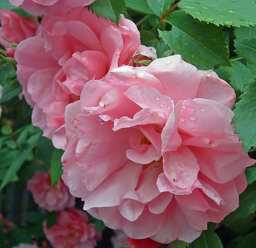 john davis rose