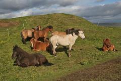 Horses in the sun