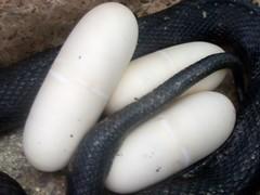 Black pine snake eggs