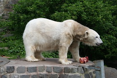 Mercedes the polar bear at Edinburgh Zoo
