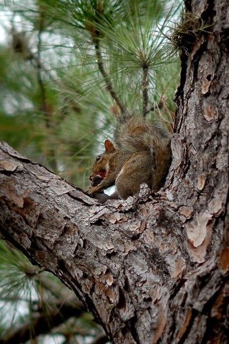 Cannibal Squirrel