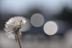 dandelion photo by lisa marie R.