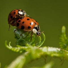 Coccinelles asiatiques (Harmonia axyridis) asian Lady Beetles mating photo by Sinkha63