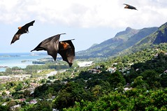 Seychelles fruit bats / flying fox photo by pentlandpirate