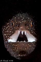 murène perlée - Whitemouth moray eel - Gymnothorax meleagris photo by Penti's Pics