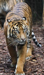 Tiger photo by ʘwl