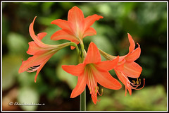2137 lily photo by chandrasekaran a