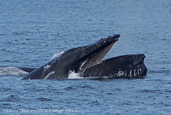 Lunge Feeding Humpback photo by Legendary Spider
