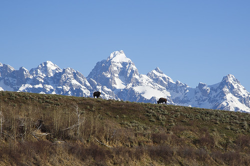 Two bison silhouettes on a ridge with the Tetons towering behind.