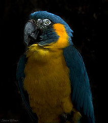 Blue Throated Macaw photo by Steve Wilson - over 5 million views Thanks !!