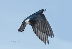 SWALLOW - 02a photo by AIR BUS