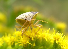 Shield Bug on Goldenrod photo by mudder_bbc