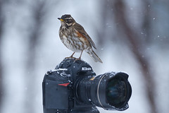 Redwing (Turdus iliacus) and Nikon photo by Gudmann