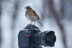 Redwing (Turdus iliacus) and Nikon photo by Gudmann