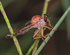 IMG_1197  robber fly photo by Troup1