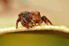 2mm crab spider photo by FISHNROBO