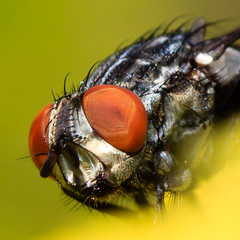 Fly Head photo by Kingsley Swamidoss