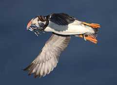 Puffin in flight photo by Photo Crazy Rob