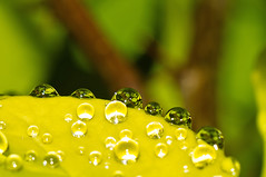 barberry water drops photo by loco's photos