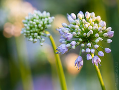Allium photo by Vicki Maher Thank you for 200,000 views!