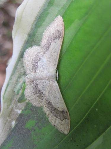 papillon  l'Impolie ou Idaea aversata (geometridae sterrhinae) phalène