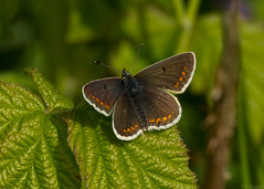 brown argus photo by roly2008.