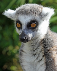 Ring Tailed Lemur photo by Buggers1962