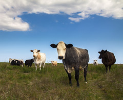 Cows looking @ U photo by Christian Hacker