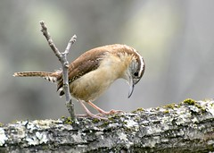 Carolina Wren photo by Carolyn Lehrke