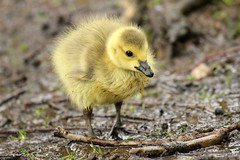 Canada Gosling photo by DaniConnor1995