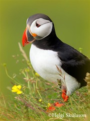 Puffin photo by Helgi Skulason photographer