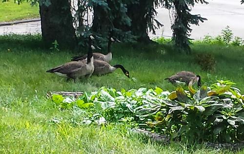 Yard Geese