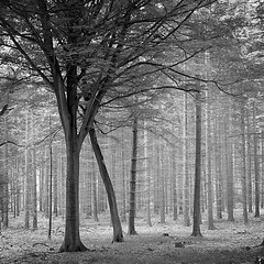 The Great Grey Pine Forest (Explored) photo by Shen_Stone