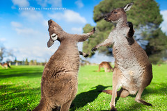 Two kangaroos fighting each other, Australia photo by Robert Lang Photography