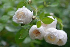 Rose'Glamis Castle' in the rain photo by myu-myu