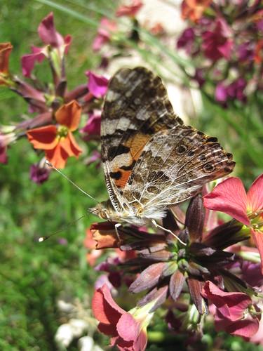 papillon Belle-Dame ou Vanesse des chardons