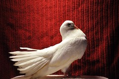 White Fantail Pigeon photo by gdsphotography96