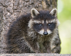 Cute baby raccoon photo by Tambako the Jaguar