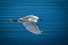 Snowy Egret in Flight photo by Dream Source Studio