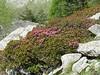 Rhododendron ferrugineux,Rhododendron ferrugineum
