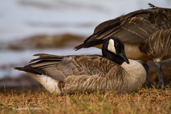 Canada Goose photo by Lindell Dillon